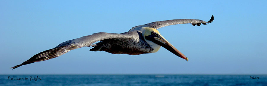 Pelican in Flight pano